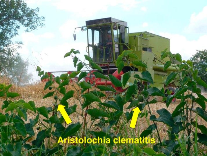 Aristolochia-clematitis-01